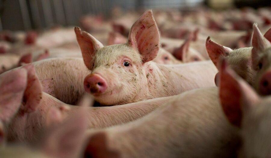 Чумные свиньи закрыли в костромских городах сезон охоты
