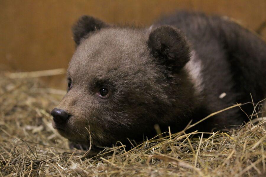 Стала известна судьба трех осиротевших костромских медвежат