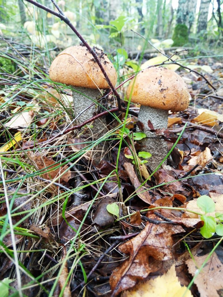 Костромичи рассказывают про нереальный урожай грибов